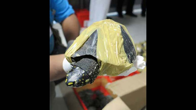 Alarming rise in Black Spotted Turtle trade...