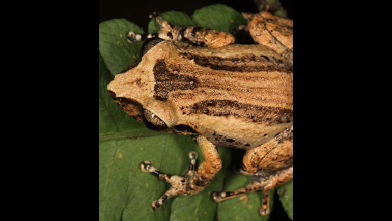 The Rediscovery of Pseudophilautus hypomelas in the Peak Wilderness Sanctuary